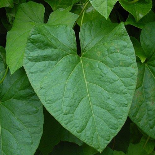 bindweed-leaves