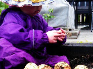 Lulu growing potatoes