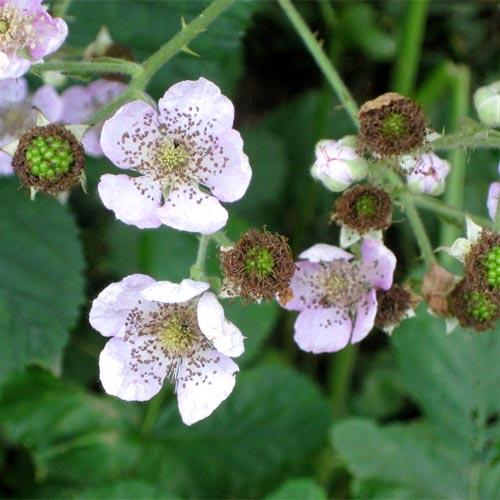 bramble-flowers