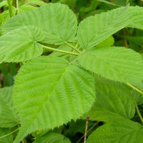 bramble-leaves