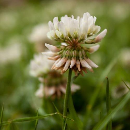 clover-flower