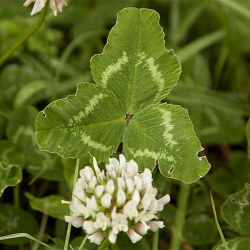 clover-leaf