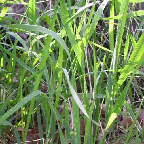 couch-grass-leaves