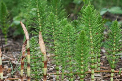 mares-tail