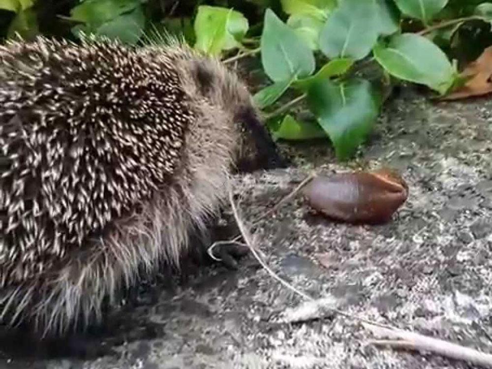 A hedgehog loves eating slugs for tea!