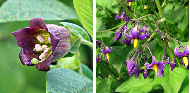 Deadly v woody nightshade