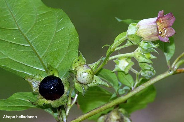 Deadly or Woody Nightshade