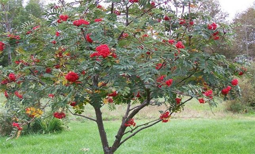 Removing a rowan tree may bring bad luck