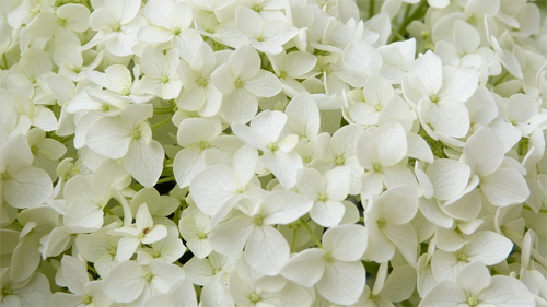 White flowers are said to be bad luck