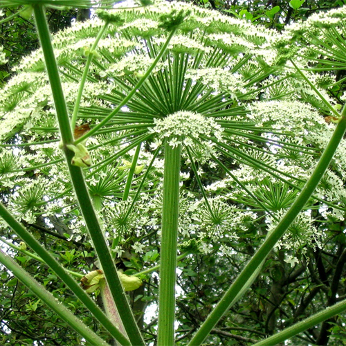 giant hogweed flowers
