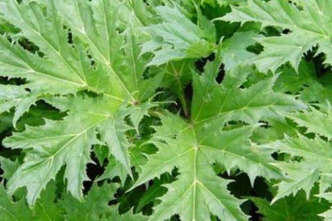 giant hogweed leaves