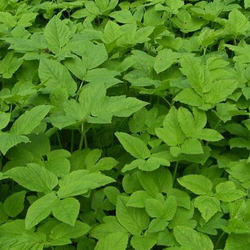 Ground elder leaves