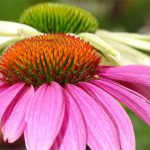 Echinacea are a great plant for attracting wildlife