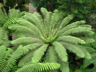 Planting Dicksonia antartctica is a great way to make a bold statement in your garden