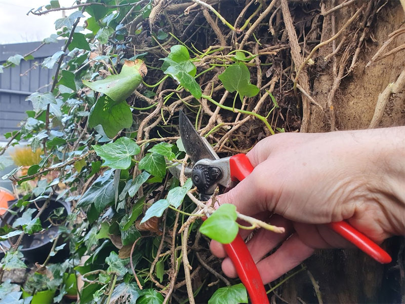 Remove ivy to keep your structures safe and strong
