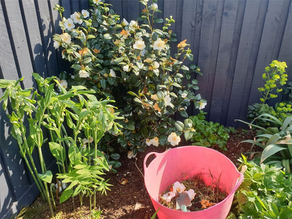 Deadhead your camellias to keep them looking in tip-top condition