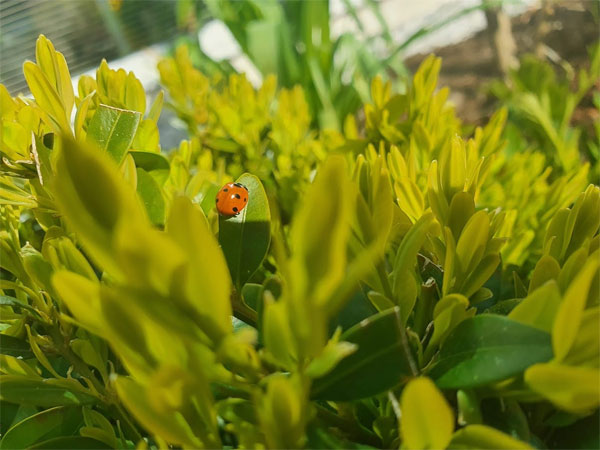 This little ladybug is in our front garden