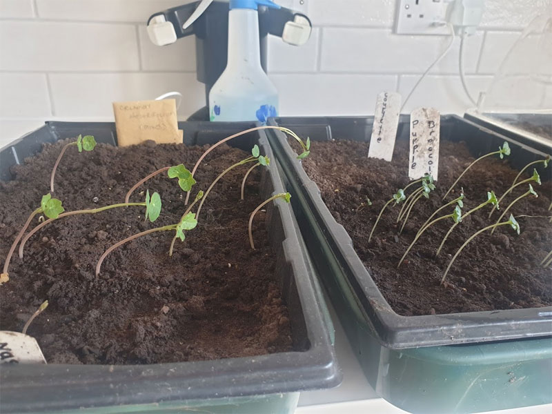 Keep your seedlings watered as well as turning them regularly