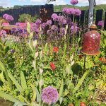 Alliums are looking amazing in our garden at the moment