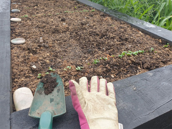Keep on top of weeding your veg beds and thinning seedlings
