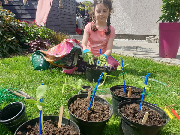 Pot on your sunflowers and stake them for the best results
