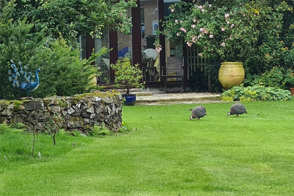 Guinea fowl roam tamely around the grounds of Glenwhan Gardens