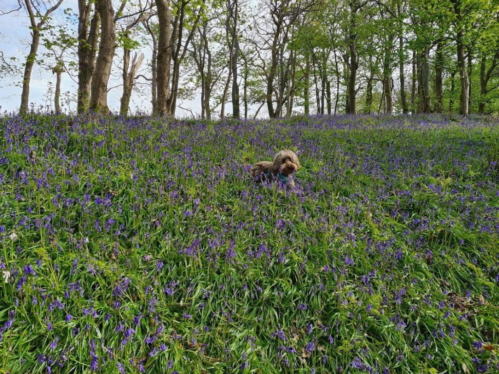 Bluebell fact: Noodle admiring the bluebells