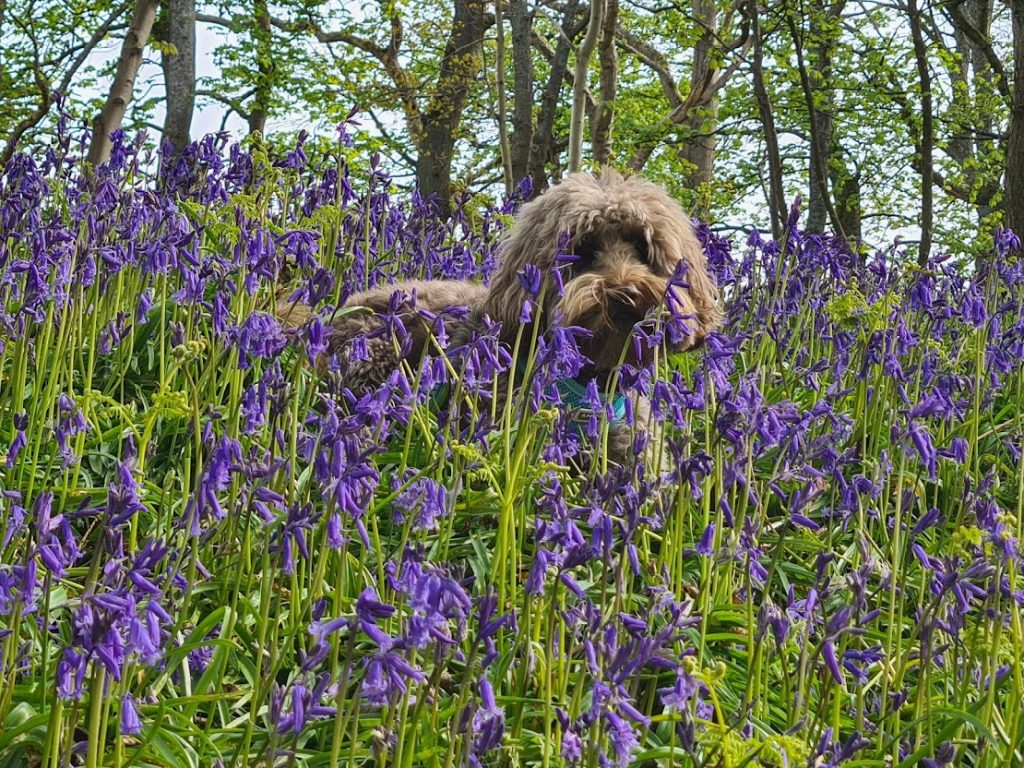 Bluebell fact: Make sure you don't crush the bluebells on walks