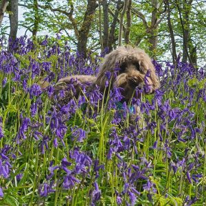 Make sure you don't crush the bluebells on walks