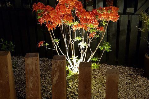 The azalea still looks glorious at night