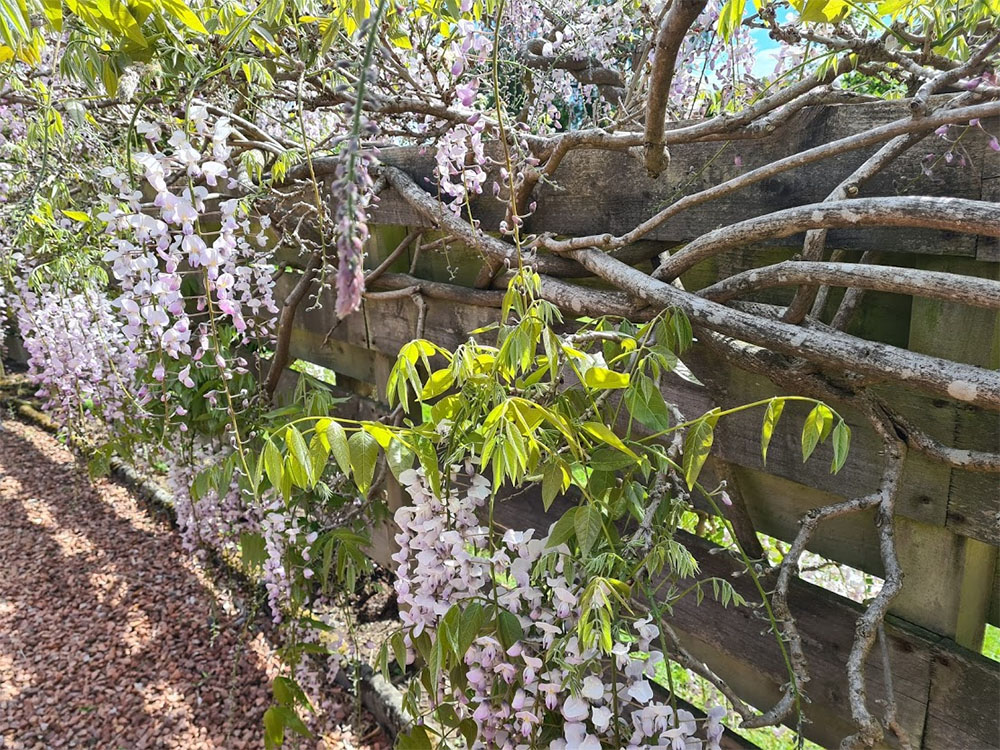 More amazing scent from this wisteria
