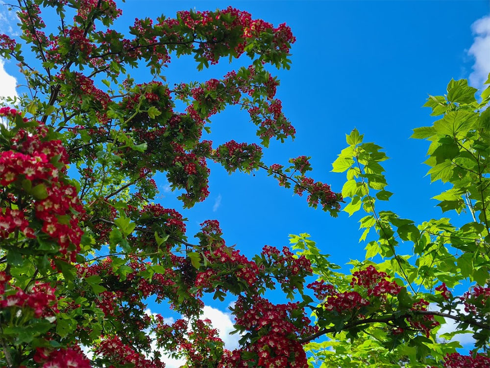 Glorious trees ablaze in the June sunshine