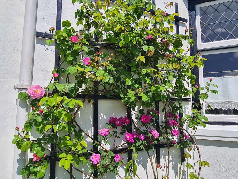 Roses clamber over this pretty wall